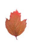 布朗在白色背景的叶子荚莲属的植物 免版税图库摄影
