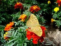 布朗在的老虎蝴蝶红色花 库存照片