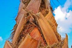 布朗在美丽的蓝天的棕榈吠声 免版税库存图片