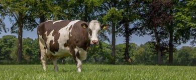 布朗在荷兰风景的瑞士人母牛 免版税库存照片