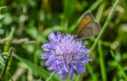 布朗在野花的草甸蝴蝶 图库摄影