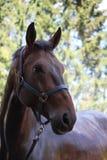 布朗在阵雨以后的马画象 免版税库存照片