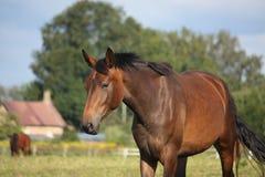 布朗在领域的马画象在夏天 图库摄影
