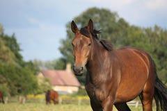 布朗在领域的马画象在夏天 免版税图库摄影