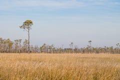 布朗在马偕海岛的沼泽草的领域 库存照片