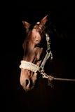布朗在黑背景的马头 免版税库存图片