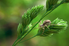 布朗在绿色植物的蜘蛛狩猎 免版税库存照片