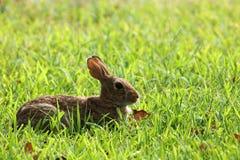布朗在绿草的小兔 免版税库存照片