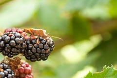 布朗在黑莓群射击的盾臭虫在被弄脏的绿色bokeh背景 免版税库存图片