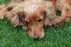 布朗基于草的猎犬 免版税图库摄影