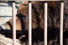 布朗堪察加熊 库存图片