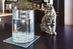 布朗大理石平纹小猫观看的金鱼 库存图片