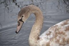 布朗天鹅在池塘 图库摄影