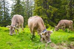 布朗奶牛在草和野花草甸在森林里 免版税图库摄影