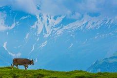 布朗奶牛在草im阿尔卑斯草甸  免版税库存照片