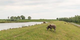 布朗察觉了吃草在堤堰的绵羊 库存照片