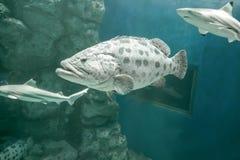 布朗察觉了石斑鱼 免版税库存图片