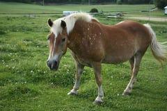 布朗察觉了马 免版税图库摄影