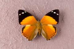 布朗察觉了蝴蝶 库存照片