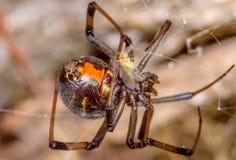 布朗寡妇或错误按钮蜘蛛(女性) 库存照片