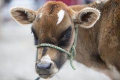 布朗小母牛在Otavalo动物市场上  库存图片