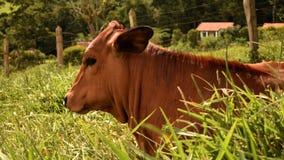 布朗小牛 库存图片
