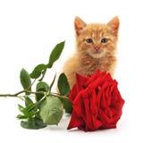 布朗小猫和一朵红色玫瑰 免版税库存图片