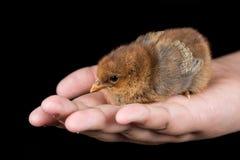 布朗小的婴孩鸡在手上有黑背景 图库摄影
