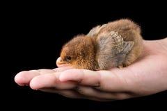 布朗小的婴孩鸡在手上有黑背景 库存照片