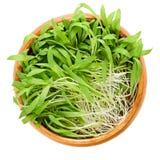 布朗小米在白色的木碗microgreen 免版税库存照片