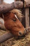布朗小马 免版税库存图片