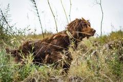 布朗小munsterlander的品种的猎犬 图库摄影