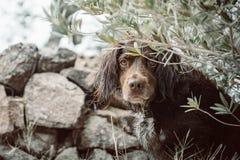 布朗小munsterlander的品种的猎犬 免版税库存照片