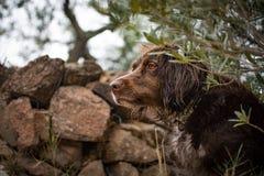 布朗小munsterlander的品种的猎犬 库存照片