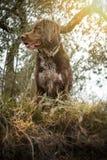 布朗小munsterlander的品种的猎犬 免版税库存图片