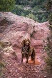 布朗小munsterlander的品种的猎犬 库存图片