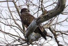 布朗少年白头鹰在Conowingo水坝的树栖息在萨斯奎哈那河,马里兰,美国 免版税库存照片