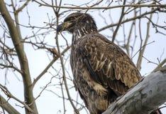 布朗少年白头鹰在Conowingo水坝的树栖息在萨斯奎哈那河,马里兰,美国 免版税图库摄影
