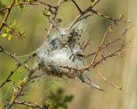 布朗尾巴飞蛾幼虫 库存图片