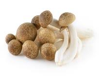 布朗山毛榉蘑菇, Shimeji蘑菇 图库摄影