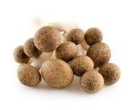 布朗山毛榉蘑菇, Shimeji蘑菇 免版税库存照片