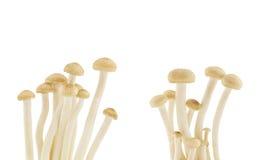 布朗山毛榉采蘑菇,在白色backgr隔绝的Shimeji蘑菇 免版税库存照片