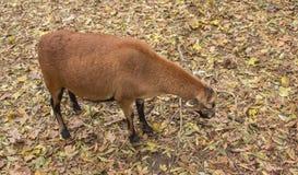 布朗山羊吃 免版税库存图片