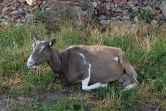 布朗山羊 免版税库存图片