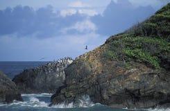 布朗峭壁的鹈鹕的殖民地,特立尼达 库存图片