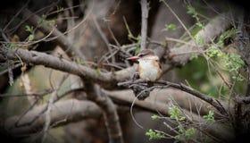 布朗带头的翠鸟 库存图片