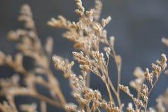 布朗干燥花 库存图片
