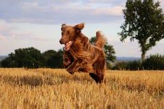 布朗平的上漆的猎犬画象 免版税库存照片