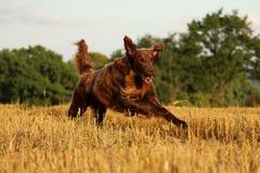 布朗平的上漆的猎犬画象 库存图片