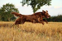 布朗平的上漆的猎犬画象 库存照片